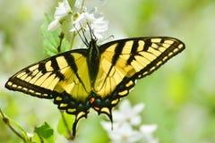 Восточный тигр Swallowtail на парке цветений насмешливого апельсина высоком Стоковые Фотографии RF