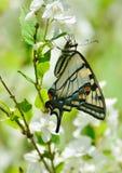 Восточный тигр Swallowtail на парке цветений насмешливого апельсина высоком Стоковое фото RF