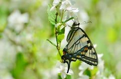 Восточный тигр Swallowtail на парке цветений насмешливого апельсина высоком Стоковые Фото