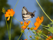 Восточный тигр Swallowtail Стоковое Фото