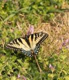 Восточный тигр Swallowtail подавая на малых розовых цветках Стоковая Фотография RF