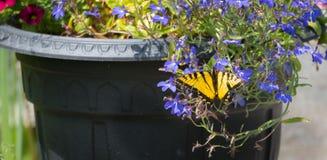Восточный тигр Swallowtail с поврежденными крылами Стоковое Фото