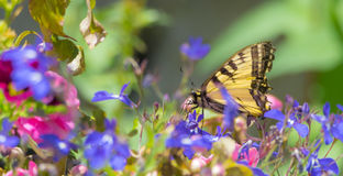 Восточный тигр Swallowtail с поврежденными крылами Стоковая Фотография RF