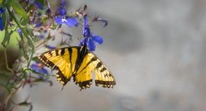 Восточный тигр Swallowtail с поврежденными крылами Стоковое Изображение