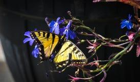 Восточный тигр Swallowtail с поврежденными крылами Стоковая Фотография