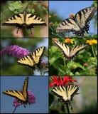 восточный тигр swallowtail Стоковые Фото