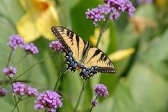Восточный тигр Swallowtail Стоковые Изображения