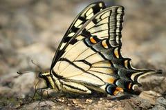 восточный тигр swallowtail Стоковая Фотография
