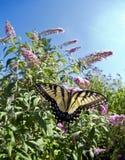 Восточный тигр Swallowtail (glaucus Papilio) Стоковое Изображение