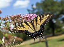 Восточный тигр Swallowtail (glaucus Papilio) Стоковое фото RF