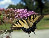 Восточный тигр Swallowtail (glaucus Papilio) Стоковое Изображение RF