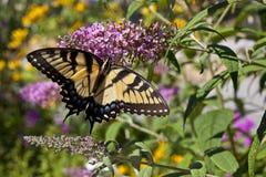 Восточный тигр Swallowtail (glaucus Papilio) Стоковые Фото