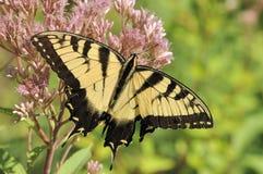 восточный тигр swallowtail papilio glaucus Стоковая Фотография