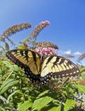 восточный тигр swallowtail papilio glaucus Стоковые Изображения