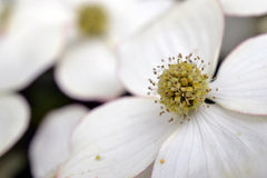 Восточный цветя кизил. стоковое изображение