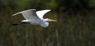 восточный egret большой Стоковые Изображения RF