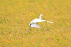 Восточный egret скотин Стоковая Фотография RF