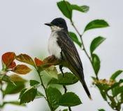 Восточный Kingbird стоковые изображения