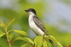 восточный kingbird Стоковая Фотография RF