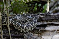 Восточный Rattlesnake с ромбовидным рисунком на спине Стоковые Фотографии RF