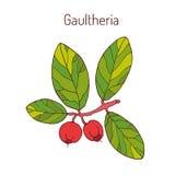 Восточный teaberry иллюстрация вектора