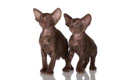2 восточных котят Стоковое Фото
