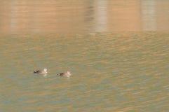 2 восточных Пятн-представленных счет утки в реке Стоковая Фотография