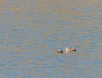 2 восточных Пятн-представленных счет утки в реке Стоковая Фотография RF