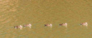 5 восточных Пятн-представленных счет уток в реке Стоковая Фотография RF
