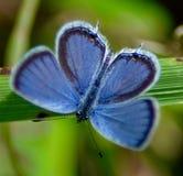 Восточн-Замкнутая голубая бабочка Стоковая Фотография RF