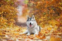 Восхитительная серая лайка лежит в желтых листьях осени и принимает удовольствие Стоковые Изображения RF