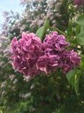 Восхитительные цветорасположения белого, пинк, богатый малиновый Syringa сирени, обильно цвести весной стоковое изображение rf