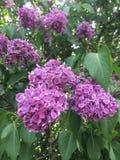 Восхитительные цветорасположения белого, пинк, богатый малиновый Syringa сирени, обильно цвести весной стоковое фото rf