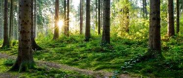 Восход солнца в лесе стоковое фото