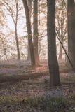 Восход солнца в лесе bluebell стоковые изображения rf