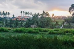 Восход солнца в полях риса Ubud в Бали, Индонезии стоковая фотография