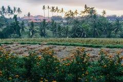 Восход солнца в полях риса Ubud в Бали, Индонезии стоковые изображения