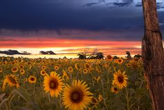Восход солнца и поле солнцецветов стоковое изображение