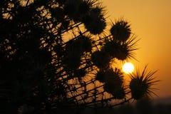 Восход солнца и силуэты кустов терния стоковые фотографии rf