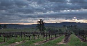 Восход солнца ландшафта виноградника видеоматериал
