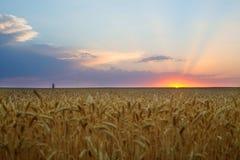 Восход солнца лета, пшеничное поле Стоковая Фотография RF