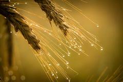 восход солнца рожи dewdrop стоковые фотографии rf