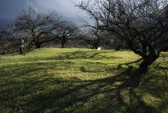 восход солнца сада евкалипта Стоковая Фотография RF