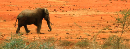 восход солнца слона уединённый Стоковая Фотография RF