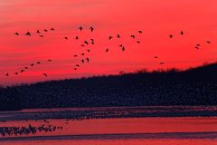 восход солнца снежка гусынь летания Стоковое фото RF