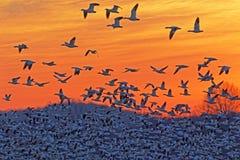 восход солнца снежка гусынь летания стоковое фото