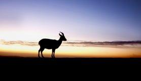 восход солнца ibex Стоковое фото RF