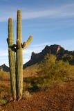 восход солнца sonoran saguaro пустыни кактуса Стоковое фото RF