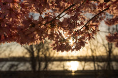 Восход солнца вишневого цвета Стоковое Изображение