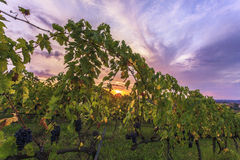Восход солнца в винограднике Стоковое Фото